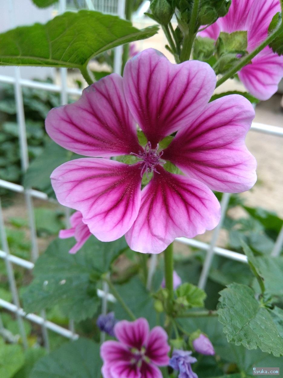 ゼニアオイの花