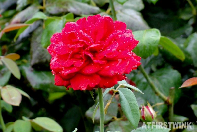Shinjuku Gyoen 新宿御苑 red rose