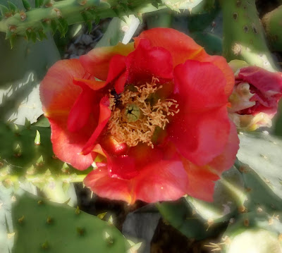 red prickly pear flower
