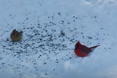 is a pair of cardinals at the feeder at mid-morning normal?
