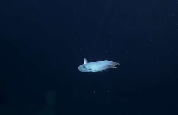 The Grimpoteuthis octopus lived at a depth of 3.2 km in the area of the underwater volcano Davidson in the National Marine Reserve of Monterey.