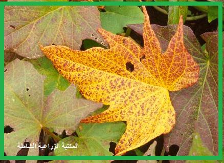 سؤال و جواب في التسميد : كيف تظهر اعراض نقص الفسفور على نمو محاصيل الفاكهة ؟