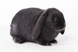 Gambar wallpaper kelinci