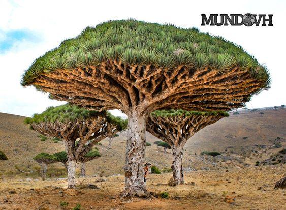 Socotra_Yemen_Dragon_Tree
