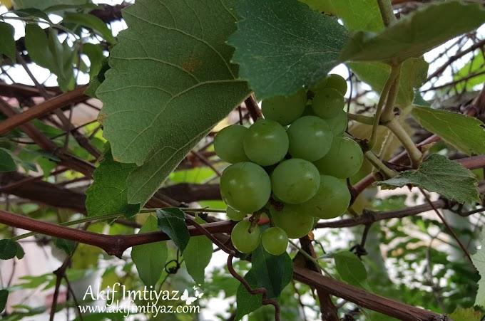 Teruja Tengok Pokok Anggur Berbuah