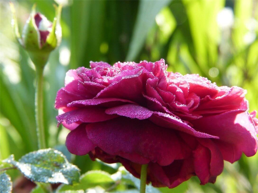 有機栽培で育てられているバラの花々の写真