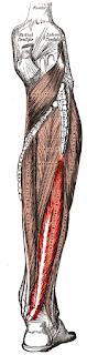 Flexor hallicus longus- www.physioscare.com