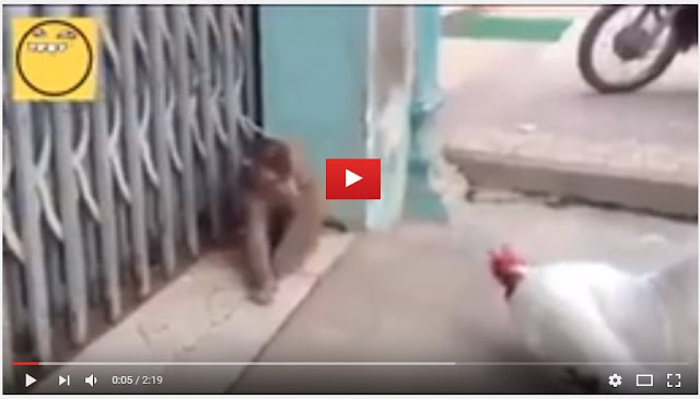 funny video rooster vs monkey