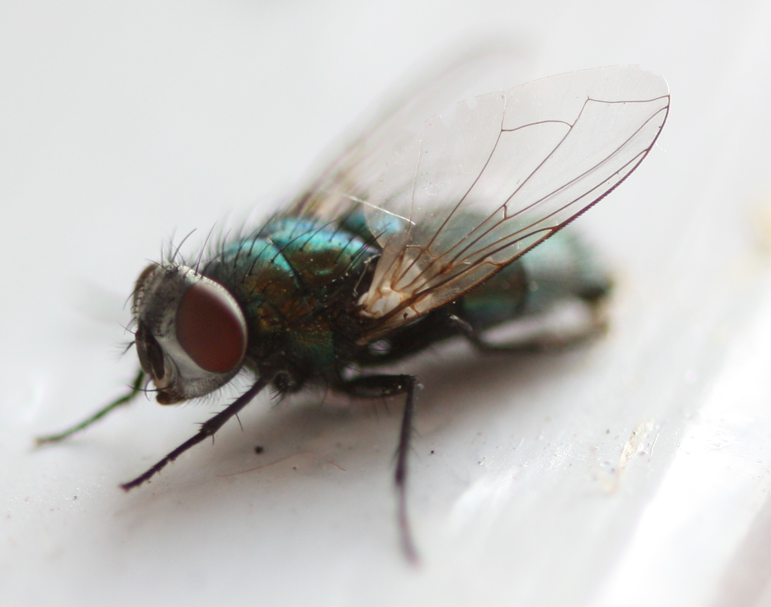 Pictures Of A Housefly 77