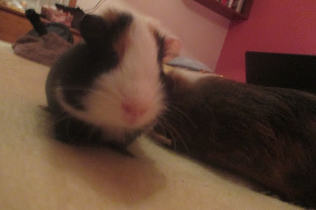 My Pets | Guinea Pigs