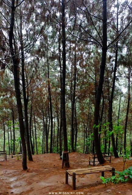 hutan pinus di brebes