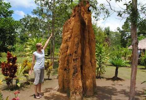 Inilah  Sarang Semut Raksasa di Papua Mencapai 5 Meter