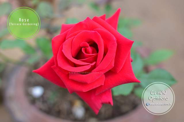 Red Rose On Our Terrace Garden