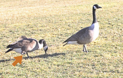 "In this picture a pair of Canadian geese are standing on a grassy area near Turtle Pond (located in Central Park). The goose on the left (female) only has one leg. Her partner is standing in front of her as a way of protecting her. This bird type is featured in volume two of my book series, ""Words In Our Beak."" Info re these books is within another post on this blog @ https://www.thelastleafgardener.com/2018/10/one-sheet-book-series-info.html"