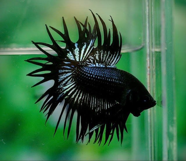 Dunia Ikan Hias - CUPANG CROWN TAIL (SERIT)