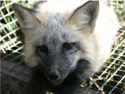 Domesticated Silver Fox Damn Cool Pictures
