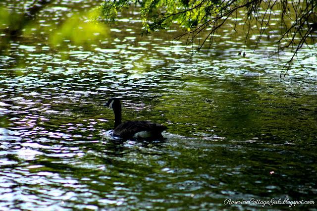 Be Still | a duck swimming in placid water | rosevinecottagegirls.com