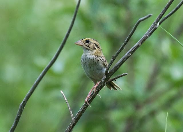 Henslow's Sparrow - Sharonville SGA, Michigan, USA
