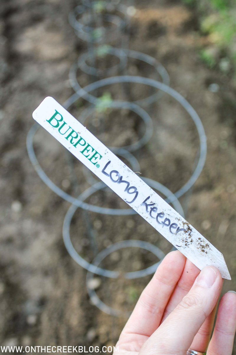 Long Keeper tomatoes in the garden | On The Creek Blog