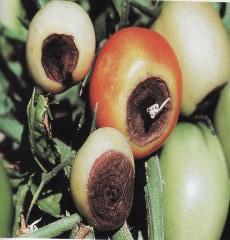 Gambar mengeringnya buah tomat akibat kekurangan kalsium