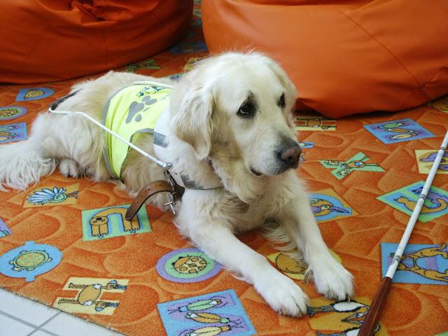 Vodicí pes Cilka leží na koberci