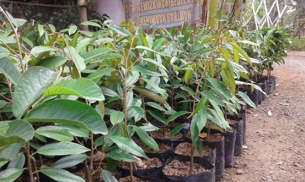 Bibit Tanaman Durian Petruk Pekanbaru
