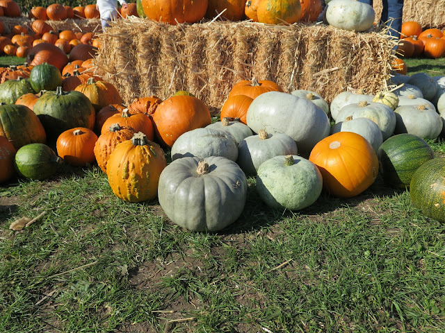 pumpkin patch, apple day, lathcoates farm, essex, chelmsford