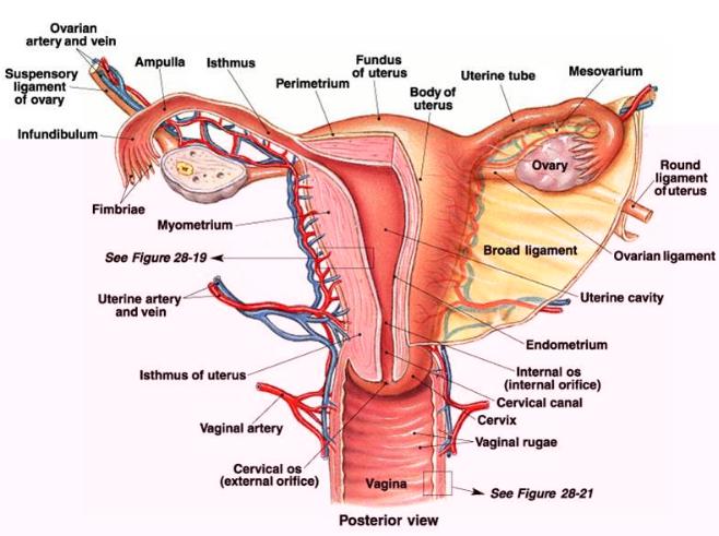 Alat Reproduksi Wanita Bagian Dalam