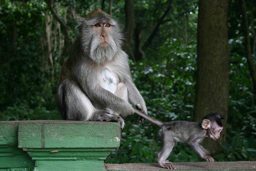 parent monkey pulling the tail of baby