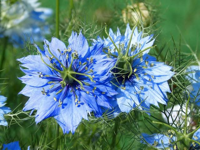 niebieska czarnuszka