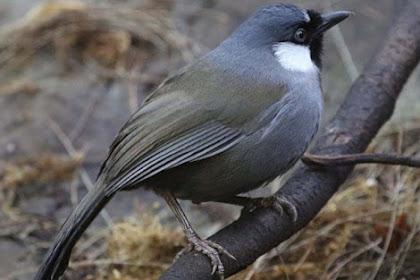 9 Jenis Burung Poksay yang Pernah Ramai di Indonesia
