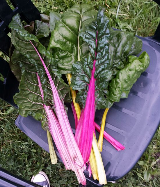 Swiss chard from the allotment garden in Oslo