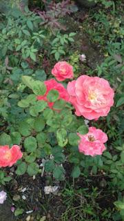 cây hoa hồng cổ cam đà lạt