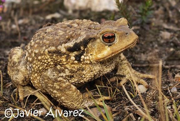 Anfibios Y Reptiles De La Rioja: Identificación De Sapos