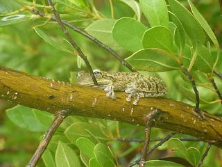 Rainette de Cuba - Osteopilus septentrionalis