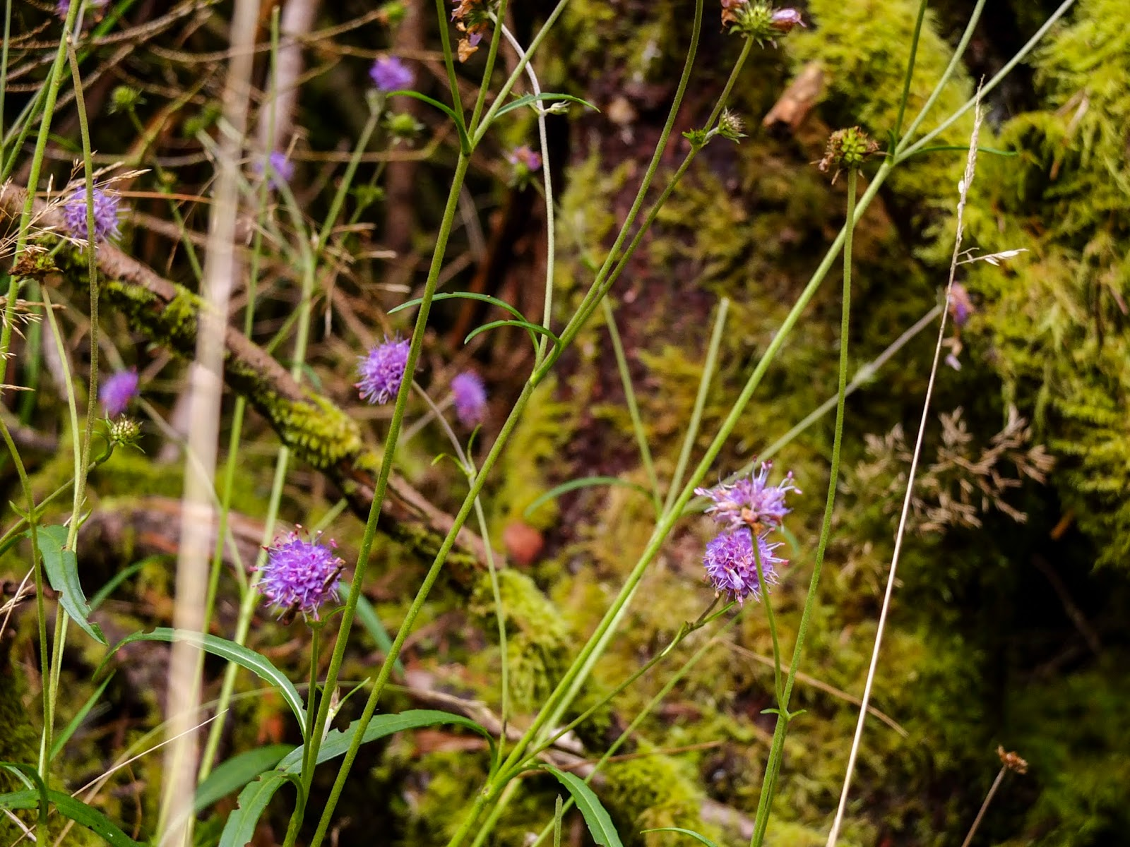 Little purple flowers growing with some grasses and moss.