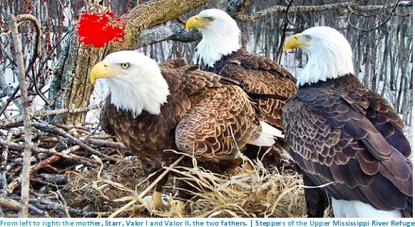 eagles,three eagles