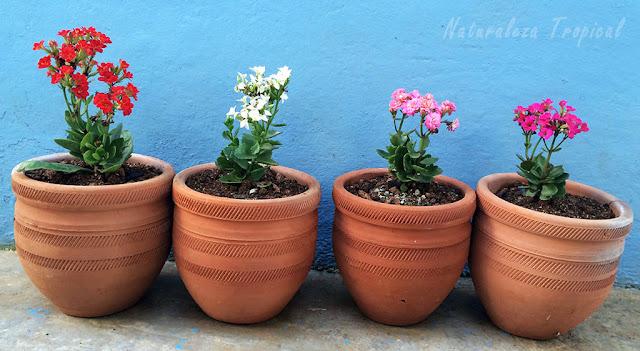 Variedades de Kalanchoe blossfeldiana en macetas de barro