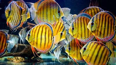 Pelet Ikan Discus