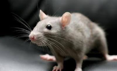 5 Tips Agar Dapur Terbebas Dari Tikus Selamanya
