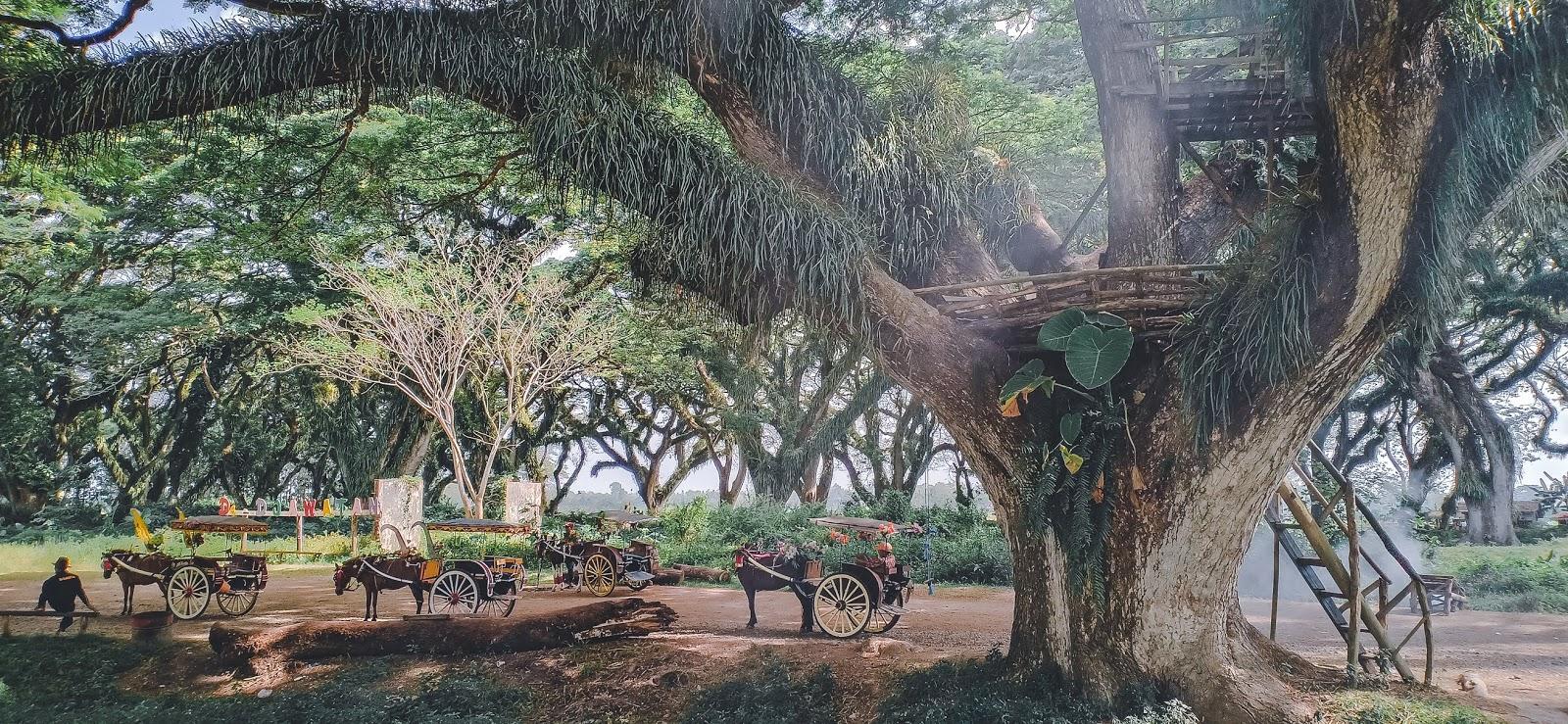 De Djawatan, Hutan di Banyuwangi ala Fangorn Forest The Lord of