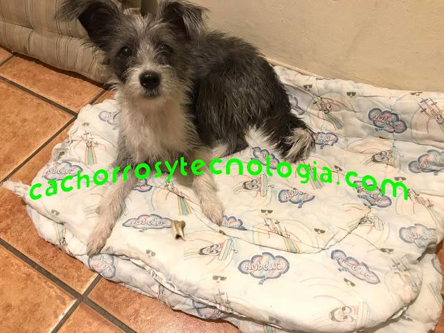 Gala olfato perro dog smell cachorros y tecnologia peru chaclacayo shurkonrad 2