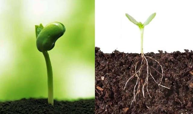 ¿Por qué las plantas crecen hacia arriba?