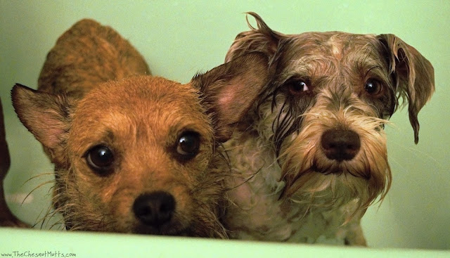 Jada and Dotting bathing with BVH Pet Care Premium Dog Shampoo & Conditioner