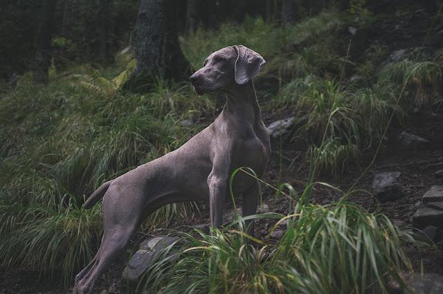 صورة أكبر كلب في العالم