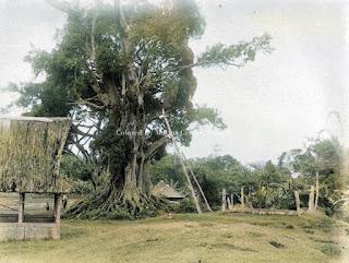 pohon banyan di padang sidempuan