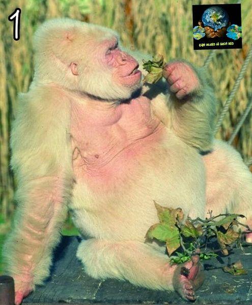 1. බටහිර පහත්බිම් ආශ්රිත ගෝරිල්ලන් විශේෂය (western lowland gorilla)
