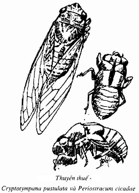 Hình vẽ THUYỀN THUẾ - Petiostracum cicadae - Nguyên liệu làm Thuốc Ngủ, An Thần, Trấn Kinh