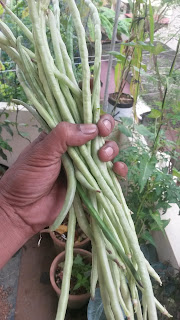 Long Beans Valli payar on Terrace