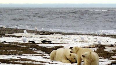 Seekor beruang kutub dan dua anaknya terlihat di pantai Laut Beaufort di dalam Area 1002 Suaka Margasatwa Nasional Arktik oleh Perpustakaan Gambar Alaska Dinas Ikan dan Margasatwa AS pada tanggal 21 Desember 2005. (Foto: Reuters)